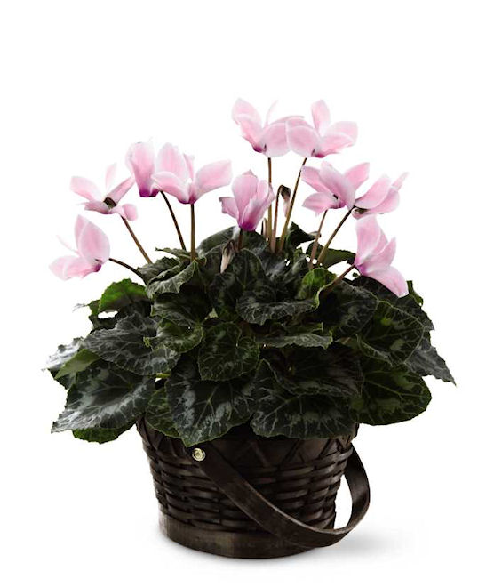 cyclamen potted cyclamen from grower direct fresh cut flowers - White Flowering House Plants