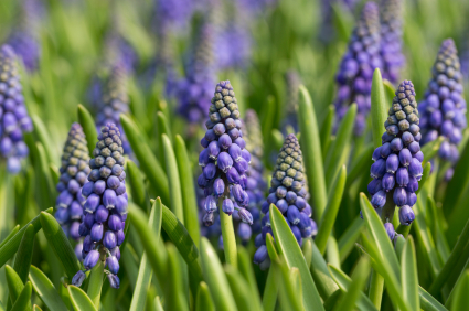 grape hyacinth; muscari