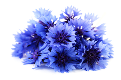 Bachelor's Button, Cornflower