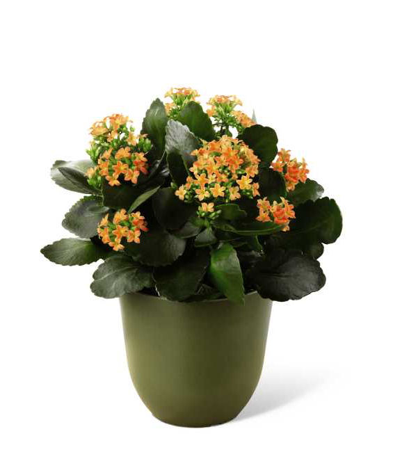 Best flowering houseplants for mother s day grower direct fresh cut flowers presents - Best flowering house plants ...