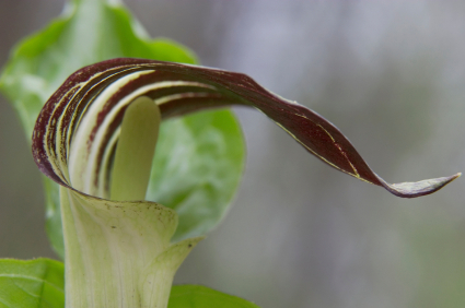 Jack in the Pulpit (Arisaema triphyllum)