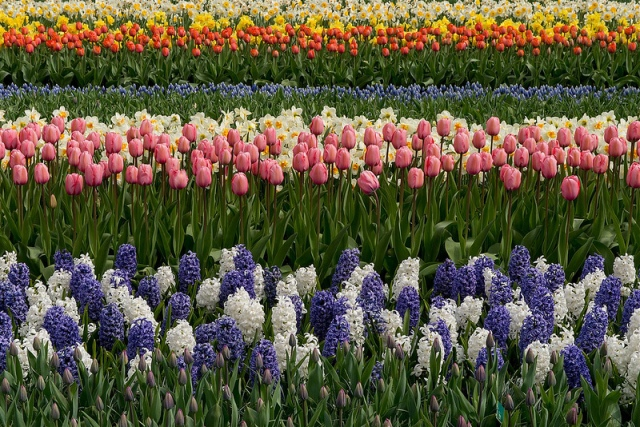 Tulips and hyacinth flowers at the Keukenhof Gardens in  Holland.