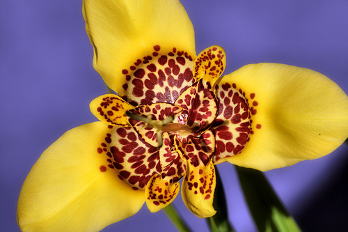 Tiger flower (tigridia)