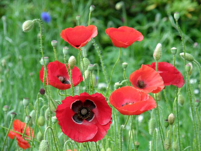 Fun flower facts oriental poppy papaver orientale grower direct poppy orientale mightylinksfo