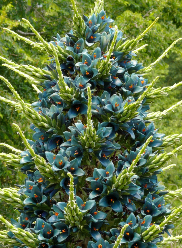 flowering puya berteronia