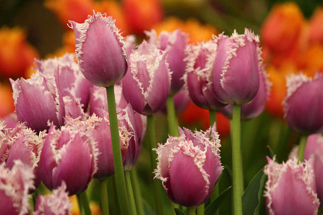 pink tulips at the RHS Chelsea Flower Show