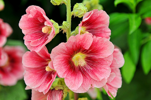 Tips On Growing Hollyhock Grower Direct Fresh Cut