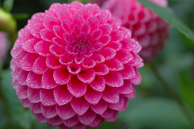 Guest post top uk autumn and winter flowering plants grower beautiful pink dahlia flower mightylinksfo