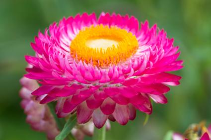 Best drought tolerant annuals for your garden grower direct fresh strawflower strawflower strawflowers mightylinksfo