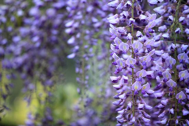 close up of wisteria plant