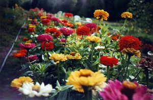 flowers in a cutting garden