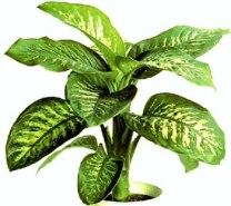 common houseplant: dieffenbachia