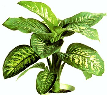 common houseplant: dieffenbachia