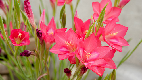 gladiolus, pink