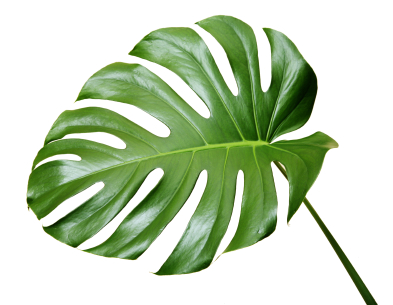 monstera houseplant