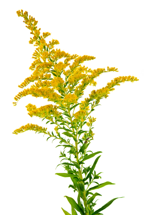 solidago (goldenrod)