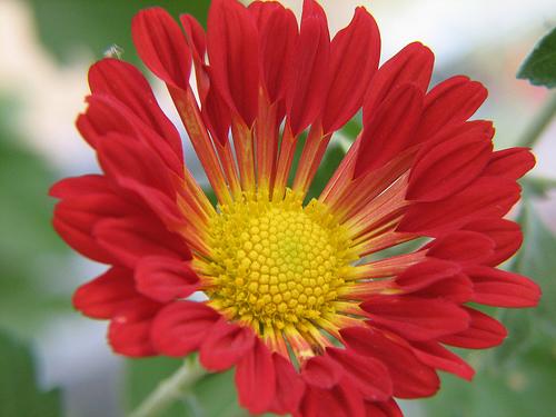 chrysanthemum varieties grower direct fresh cut flowers