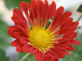 Chrysanthemum Variety- Spoon