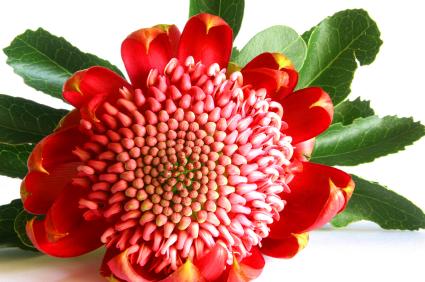 telopea (waratah flower)