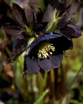 hellebore flower, black