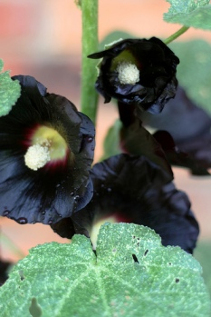 black hollyhock flowers