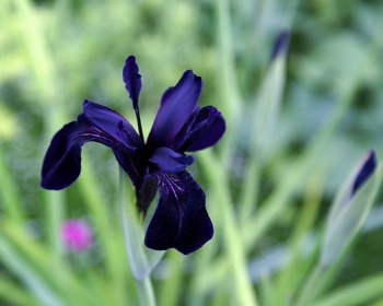 Iris chrysographes (black iris)