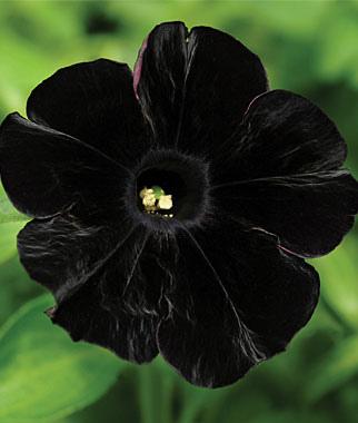 petunia, black