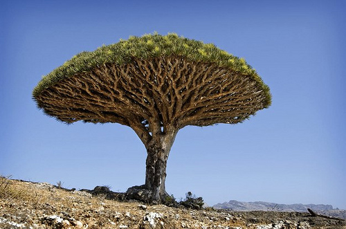 Dracaena cinnabari (Dragon Blood Tree)