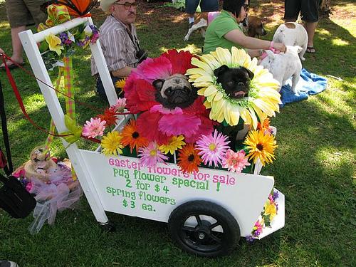 Pugs dressed up as flowers