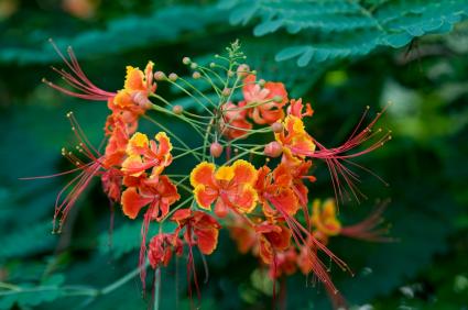 caesalpinia pulcherrima; Mexican bird of paradise