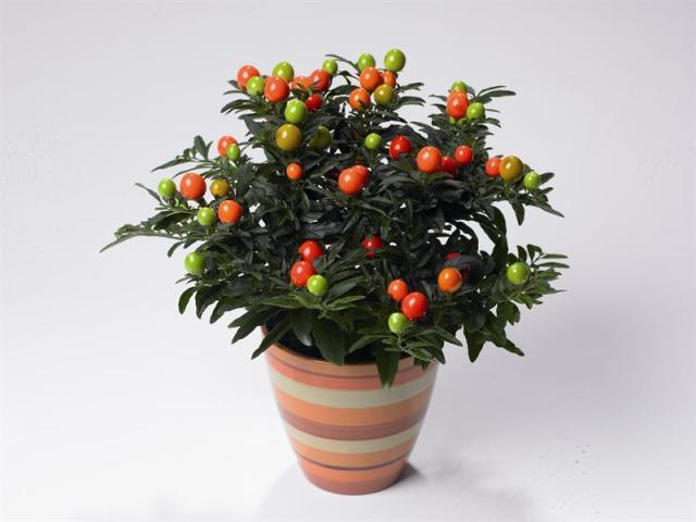 Winter Cherry (Solanum capsicastrum)