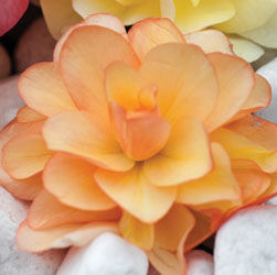 Begonia - Fragrant Falls Improved