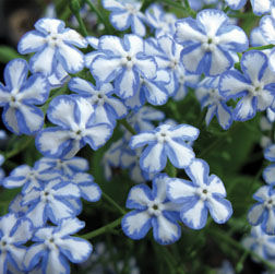 Brunnera macrophylla - Starry Eyes