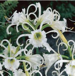 Spider Lily - Ismene
