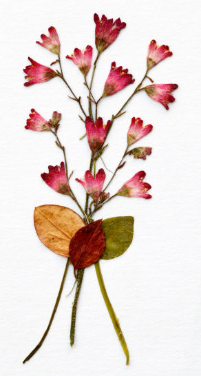 pressed flowers 2
