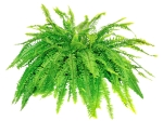 Boston Compacta Fern Isolated on White