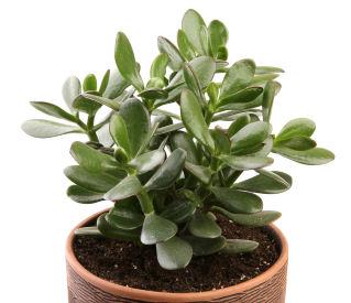 Guest post best oxygen producing indoor plants grower for Oxygen plants for home