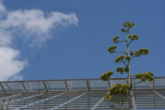 Agave Michigan Bloom