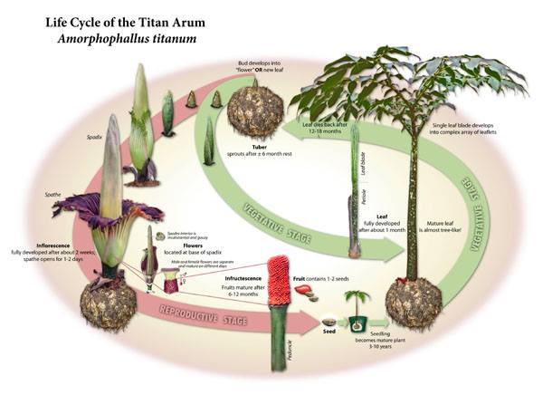 The Life Cycle of a Corpse Flower