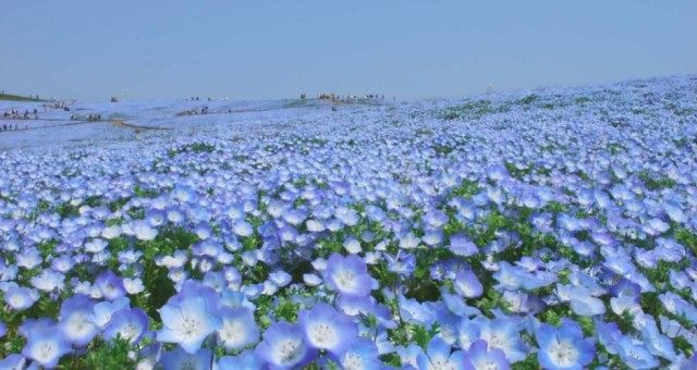 Baby-blue eyes (Nemophila) as far as the eyes can see!