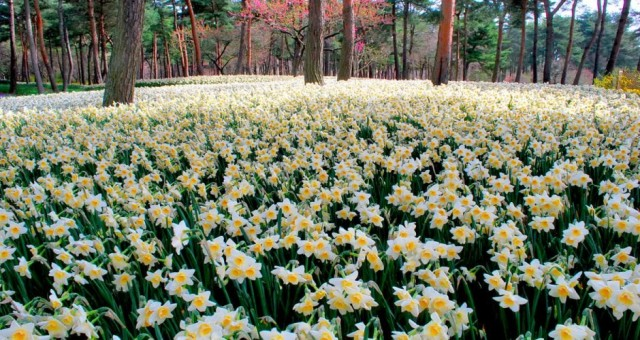 Another daffodil (Narcissus) variety
