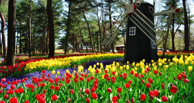 A windmill amongst the tulips gives homage to the world largest tulip exporter, Holland