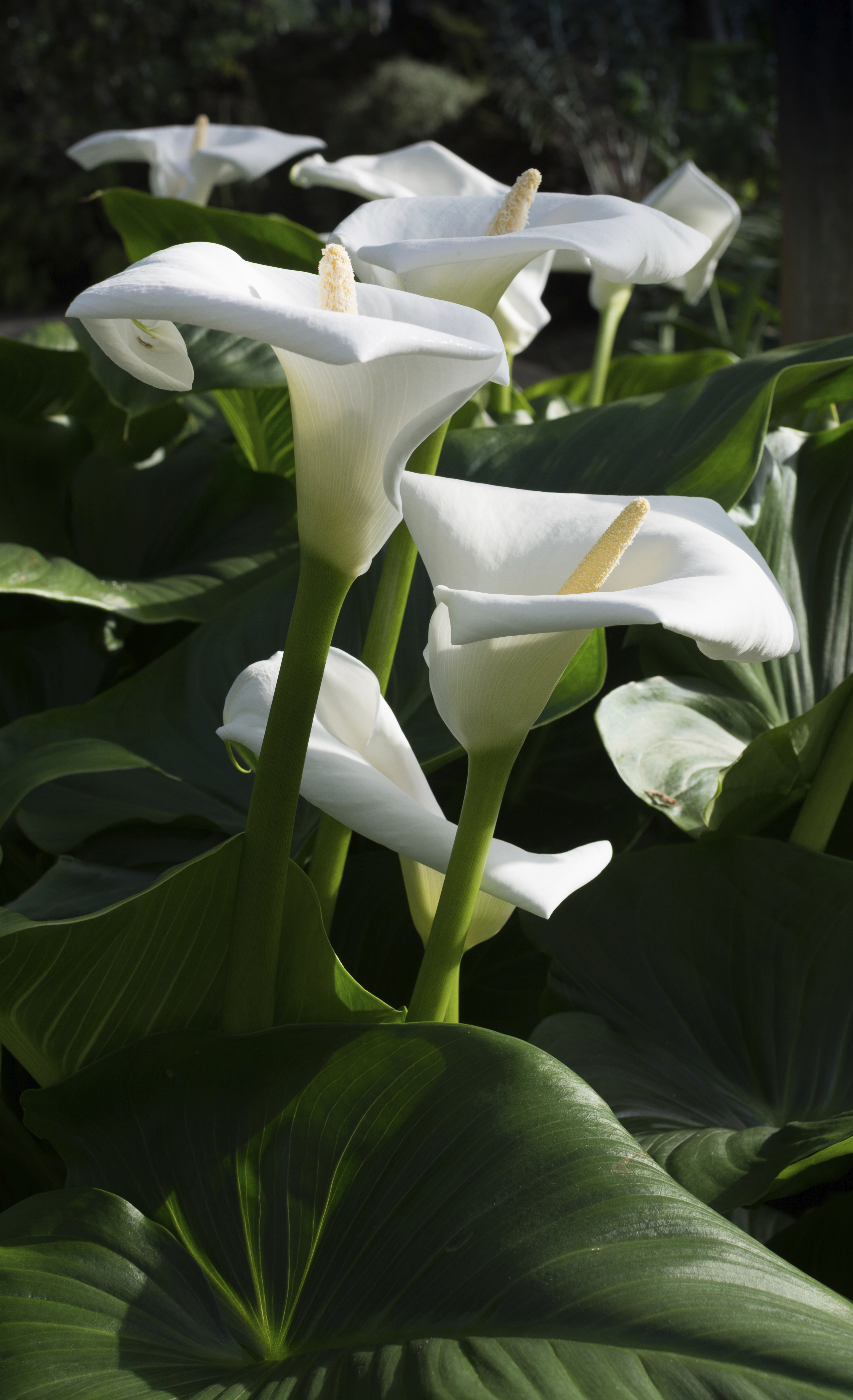 Grower direct fresh cut flowers presents your local flower shop white calla lilies vertical image group of white callas with green leaves white calla lily plant dhlflorist Choice Image