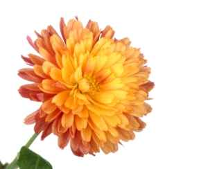 Chrysanthemum Flower Head Isolated