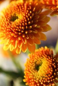 chrysanthemum, pompom
