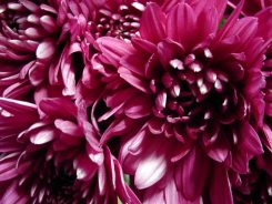 chrysanthemums01